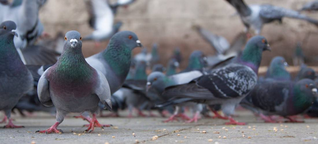 Ways-to-Keep-Pigeons-Off-Your-Patio
